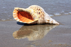 Shell on beach Royalty Free Stock Photo