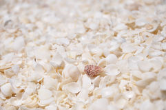 Shell Beach, baía do tubarão, Austrália Ocidental Fotos de Stock Royalty Free
