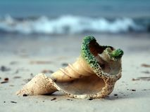 Shell on the beach. Royalty Free Stock Photo