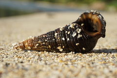 Shell in the beach Royalty Free Stock Photos
