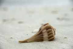 Shell on Beach in Florida royalty free stock image