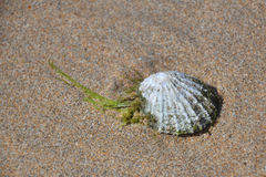 Shell on beach sand. Background or wallpaper with a shell on beach sand Royalty Free Stock Images