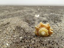 Shell on beach. With sand, tithal beach, valsad, gujarat, india stock photography