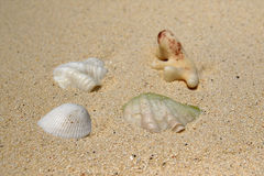 Shell on the beach of Ukulhas, Maldives Royalty Free Stock Photos