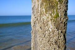 Shell behandelde boomstam in de overzeese kust stock foto's