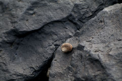 Shell on black rock Stock Photography