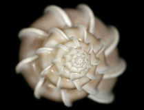 Shell blanco del caracol con las escaleras en parte inferior negra Imagen de archivo libre de regalías