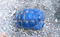 Shell-Blauschildkröte Lizenzfreies Stockfoto