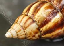 Shell bloodsucker. Beautiful naturally, Winkle Stock Images