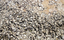 Shell bocome fosil and stone Royalty Free Stock Photo