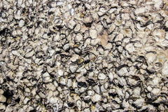 Shell bocome fosil and stone Stock Photography