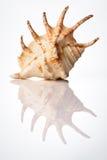 Shell brillante del mar Imagen de archivo libre de regalías