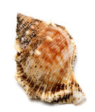 Shell of Bursa bubo (frog snail) Stock Photo