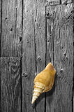 Shell on BW wood board. Stock Photography