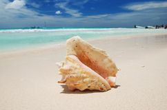 Shell in the Caribbean Royalty Free Stock Image