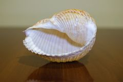Beautiful seashell close up +transparent background, png royalty free stock image