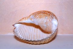 Beautiful seashell close up +transparent background, png royalty free stock photos