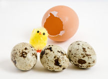 The shell, the chick and quail eggs Stock Photography