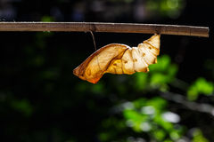 Shell chrysalis of common birdwing butterfly Stock Photography