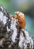 Shell of cicada after molting Stock Images