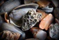 Shell cinzentos e alaranjados do oceano Fotos de Stock