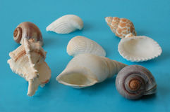 Shell close-up on blue. A group of shells of different shape Royalty Free Stock Image