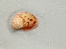 The shell Royalty Free Stock Image