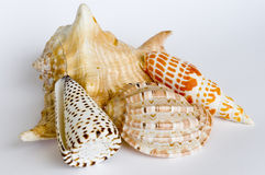 Shell Collection royalty free stock photo