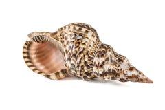 Shell, concha Shell, concha de la reina Aislado en blanco Imágenes de archivo libres de regalías