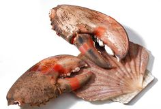 Shell and crab's claw Royalty Free Stock Images