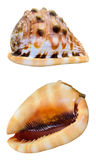 Shell of Cypraecassis Rufa or Bullmouth Helmet Stock Photo