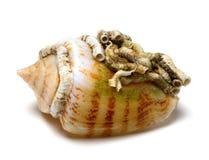 Shell d'escargot de cône images stock