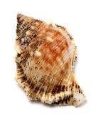 Shell de bubo de Brousse (escargot de grenouille) photo stock