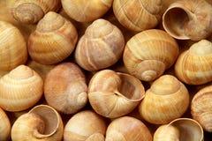 Shell de caracóis da uva Foto de Stock
