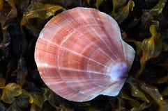 Shell de concha de peregrino Fotografía de archivo