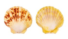 Shell de concha de peregrino imagen de archivo libre de regalías