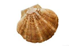 Shell de concha de peregrino de Brown en el fondo blanco Fotografía de archivo libre de regalías