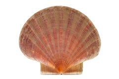 Shell de concha de peregrino o shell de San Jaime imagen de archivo libre de regalías