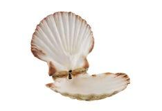 Shell de concha de peregrino vacío abierto Imagen de archivo libre de regalías