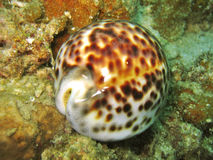 Shell de Cowry Foto de archivo