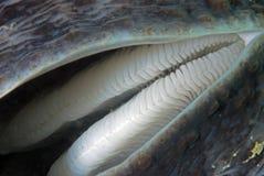 Shell de la almeja gigante Fotos de archivo libres de regalías