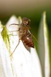 Shell de la larva de la libélula Fotos de archivo libres de regalías