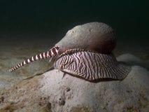 Shell de la prensa - amphora de Melo Fotografía de archivo