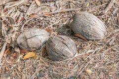 Shell de noix de coco images libres de droits