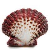 Shell de ostra Imagens de Stock Royalty Free