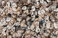 Shell de ostra Imagens de Stock