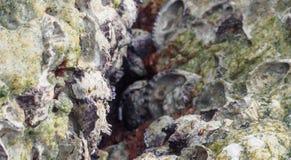 Shell de ostra na rocha Imagem de Stock Royalty Free