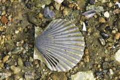 Shell de vieira na praia Foto de Stock Royalty Free