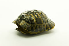 Shell of a dead turtle royalty free stock image
