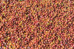 Shell dei chicchi di caffè Fotografia Stock